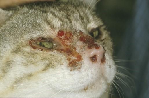 FCV (Mačji kalicivirus, Feline calicivirus)